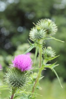 Free Bright Fluffy Purple Thistle Flower Royalty Free Stock Photos - 20304878