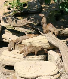 Free Family Of Banded Mongoose Stock Photo - 20305470