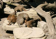 Free Mother Mongoose With Young Stock Photos - 20305483
