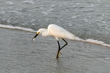 Free Snowy Egret With Fish Stock Photos - 20305493
