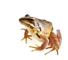 Free Rana Temporaria - Brown Frog Royalty Free Stock Photos - 20306468