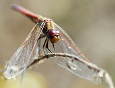 Free Closeup Of A Dragonfly Stock Photos - 20306603