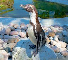 Free Humboldt's Penguin Royalty Free Stock Image - 20306896