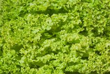 Free Healthy Food, Background. Lettuce Royalty Free Stock Photos - 20308198