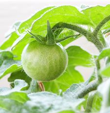 Free Green Tomato. Stock Photography - 20308502