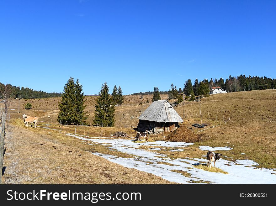 Mountain pasture with cows and cabin