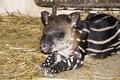 Free Lowland Tapir (Tapirus Terrestris) Baby Stock Photos - 20311713