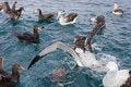 Free Gibson S Wandering Albatross Feeding Time Royalty Free Stock Photos - 20314208