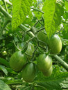 Free Bunch Of Green Tomatoes Stock Photos - 20316463