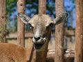 Free Mouflon Royalty Free Stock Image - 20318806