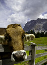 Free Happy Cow Stock Images - 20319944