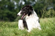 Free Russian Borzoi Stock Photo - 20310270