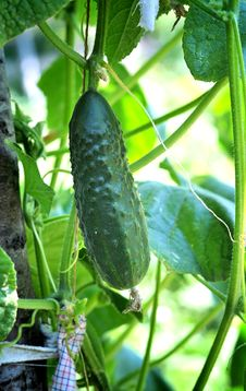 Free Cucumber Plant Stock Image - 20310551