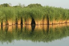 Free Reflection Reed Stock Image - 20311071