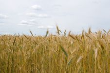 Free Landscape With Golden Wheat Field Stock Photography - 20311192