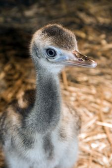 Greater Rhea (Rhea Americana) Chick Royalty Free Stock Image