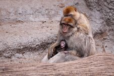 Free Barbary Macaque Family Stock Photography - 20311632