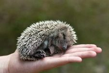 Free Hedgehog Royalty Free Stock Photos - 20312228
