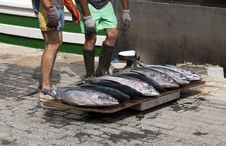 Fresh Tuna Fishes From A Fishing Boat Stock Photos
