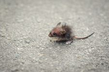 Funny Grey Rat Royalty Free Stock Photography