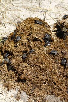 Free Recyclying Dung Beetles Stock Photos - 20313393