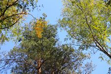 Free Trees View Upwards Stock Image - 20313811