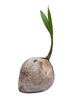 Free Young Coconut. Stock Photos - 20314853