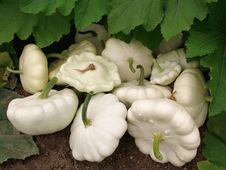 Free Squashes Harvest Stock Photos - 20315193