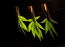 Free Marijuana Royalty Free Stock Photos - 20315278