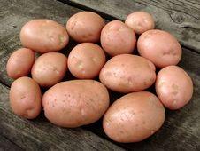 Harvested Potato Tubers Royalty Free Stock Image