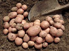 Free Harvested Potato Tubers Stock Photos - 20316663