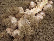 Free Garlic Stock Images - 20316954