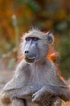 Free Baboon Stock Photo - 20317170
