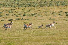 Running Herd Of Pronghorn Antelope Stock Photos
