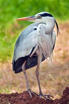 Free Grey Heron Portrait Stock Image - 20317831