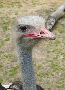 Free Ostrich Royalty Free Stock Image - 20317956