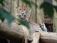 Free Leopard Stock Photos - 20318053