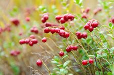 Free Cowberry Stock Photos - 20318683