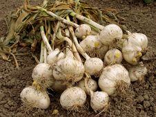 Free Leek Bulbs Harvest Stock Image - 20319961