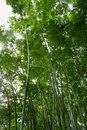 Free Bamboo Forest Stock Photos - 20328843