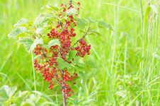 Free Redcurrant Stock Images - 20320034