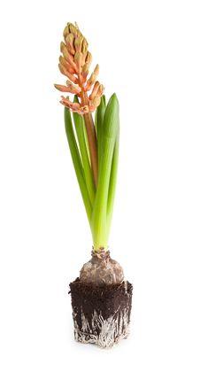 Free Pink Hyacinth Royalty Free Stock Photos - 20320948