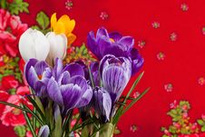 Free Crocus Royalty Free Stock Image - 20321026