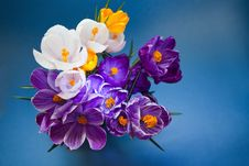 Free Crocus Royalty Free Stock Image - 20321096