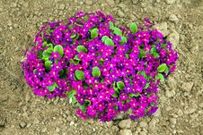 Free Violets Stock Photos - 20321423