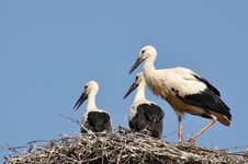 White Stork On Nest In Spring Stock Image