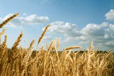 Free Wheat Field Royalty Free Stock Photo - 20324065