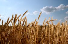 Free Wheat Field Royalty Free Stock Image - 20324066