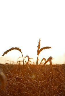 Free Wheat Field Stock Photos - 20324113