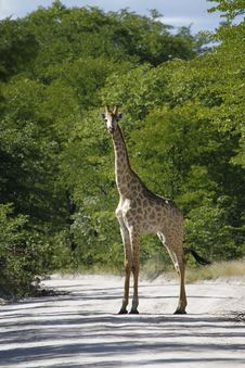 Free Worlds Tallest Mammal The Giraffe Stock Image - 20324421